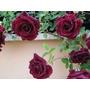 10 Sementes Rosa Trepadeira Vermelha Red Deep + Frete Grátis