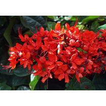 Clerodendro-vermelho - Lindas Mudas!!!