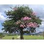 Sementes Árvore Nativa Paineira Rosa Pacote 200 Unidades