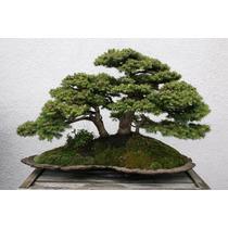 Sementes Bonsai Picea Abies Abeto Vermelho Arvore P/ Mudas