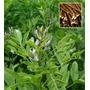 Semente De Alcaçuz - Glycyrrhiza Glabra P/ Mudas