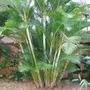 10 Mudas De Palmeira Areca Bambu, De 30 A 40 Cm