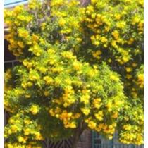 Ipê Flores Amarelas Árvore Anã Jardim Calçadas 300 Sementes