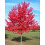 30 Sementes Acer Rubrum Maple Bôrdo Vermelho Americano Cnadá