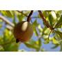 08 Mudas Grandes De Fruta Jenipapo - Arvore Nativa Frutifera