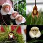 30sementes Orquídea Macaco,pato,bebê,abelha.fretegrátis.leia