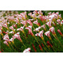 Oxalis Versicolor Trevo Bastão 40 Sementes Planta