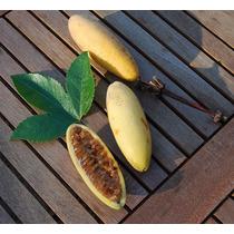 Maracujá Banana Passiflora Molis Sementes Fruta Flor P/ Muda