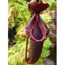 Sementes Planta Carnivora Nepenthes Bongso P/ Mudas Nefentes