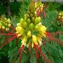 Sementes Flor Ave Do Paraiso Caesalpinia Gilliesii P/ Mudas