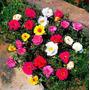 2200 Semente Onze Horas Portulaca Flor Vaso Jardim Fretgrats