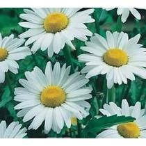 Sementes De Margarida Gigante Branca Flor Para Mudas