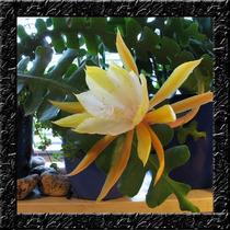 Sementes De Flor Cacto Orquidea Zig Zag Angulier P/ Mudas