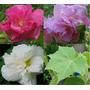 Hibiscus Mutabilis - Rosa Louca Sementes Para Mudas Flores