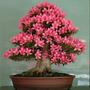 Sementes De Azaléia - Flor Bonsai - Sakura - Lindas