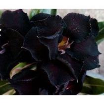 Adenium Obesum 36 Sementes 36 Cor Rosa Do Deserto - Triplas