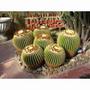 20 Sementes Cactos Echinocactus Grusonii #vre4