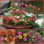 1070 Sementes Flor Onze Horas Dobrada Sortida Frete Grátis