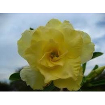 Rosa Do Deserto Kit Amarela ( 6 Cores - 18 Sementes) Adenium