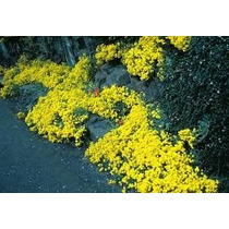 Sementes De Alyssum Amarela Flor De Mel Lobularia Alicinha
