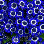 10 Sementes Margarida Azul Rainha Dos Jardins