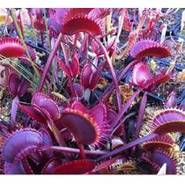 Planta Carnivora 10 Sementes+brinde,arvores Plantas Flores