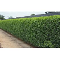 10 Mudas De Murta Grande No Torrão - Arvore Exótica