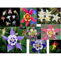 5 Sementes De Aquilegia - Frete Grátis/orquídea/muda/rosa