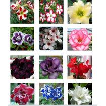 Sementes De Rosa Do Deserto 12 Cores 1 De Cada/frete Grátis