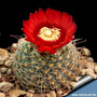 Sementes Cactos Parodia Cactus Flor P/ Mudas Cacto Planta