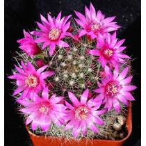 100 Sementes Cactos Mammillaria Mix Cactus Flor Mudas
