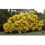 Sementes Acacia Retinodes Cassia Lindas Flores Árvore Mudas