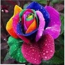 50 Semente Rosa Exótica Arco-íris + Frete Grátis@