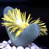 10 Sementes Pleiospilos Mix Cacto Pedra Viva Flor Mudas Rosa