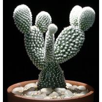 100 Sementes Cactos Opuntia Mix Cactus Palma Ficus Flor Figo