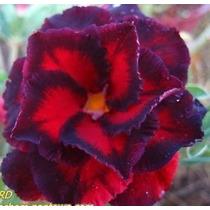 Rosa Do Deserto Kit Com 6 Sementes Adenium Black-bird