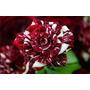Sementes De Rosas Tiger Vinho, Exótica E Rara - 15 Sementes