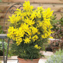 Sementes Acacia Dealbata Cassia Lindas Flores Árvore Mudas