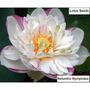 7 Flor De Lotus Dupla Mix Cores-espetacular-sementes