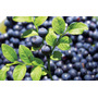 Mirtilo Bilberry - Blueberry Sementes Fruta Para Mudas