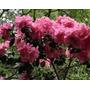 430 Sementes Da Flor Godétia Azaléia Sortida #7vre