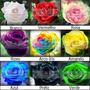 1000 Sementes De Rosas Exóticas Em 9 Cores 100% Frescas