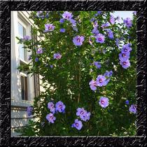Hibisco Hibiscus Syriacus Blue Sementes Flor Para Mudas