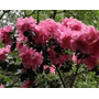 430 Sementes Da Flor Godétia Azaléia Sortida #25hb