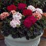 Geranio Geranium Sortido Sementes Flor Perfumada Para Mudas
