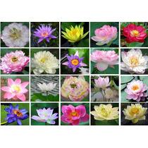 3 Sementes De Flor De Lótus 20 Cores Frete Grátis/orquídea