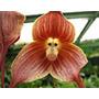 Sementes De Orquídea Cara De Macaco - Exótica 15 Sementes