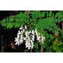 Sementes Acacia Bastarada Roninia Pseudoacacia P/ Mudas