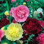 Hollyhock Malva Dobrada Sortida Sementes Flor Para Mudas