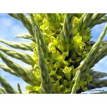 Sementes Puya Chilensis Bromelia P/ Mudas Torre De Safira